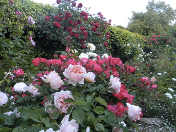 Most Beautiful Rose Gardens In The World growing roses | zinnia designs