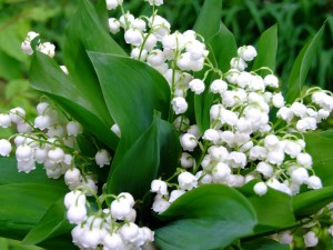 lily-of-the-valley-07